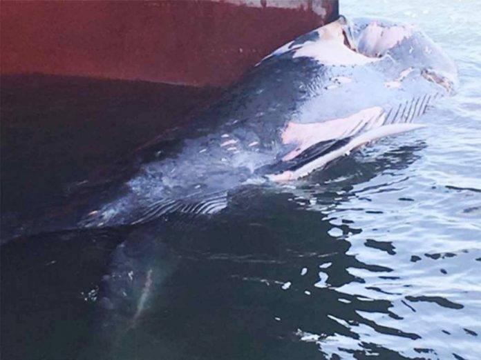 Barco arrastra cadáver de ballena por varios kilómetros; estaba atorada en la proa