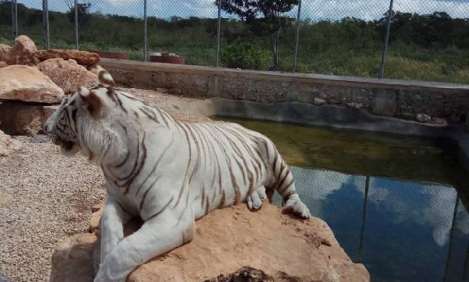 Los animales fueron propiedad de Roberto Gabriel Lozano Tamez, quien el año pasado fue atacado por uno de los felinos