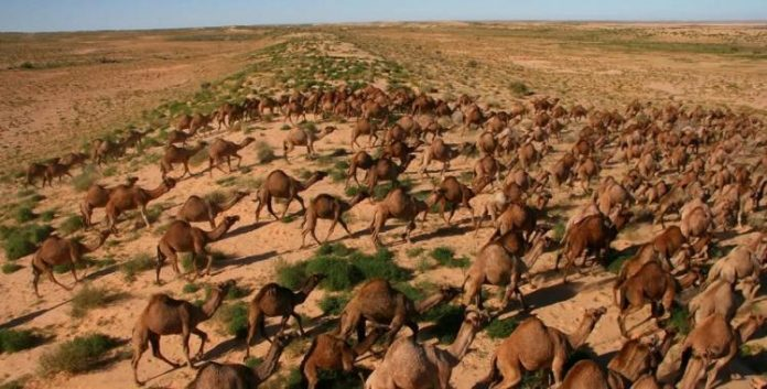 La matanza de camellos se suma a otra reciente tragedia animal suscitada en ese mismo país, pues se estima que debido a incendios devastadores más de 400 millones de animales han muerto.